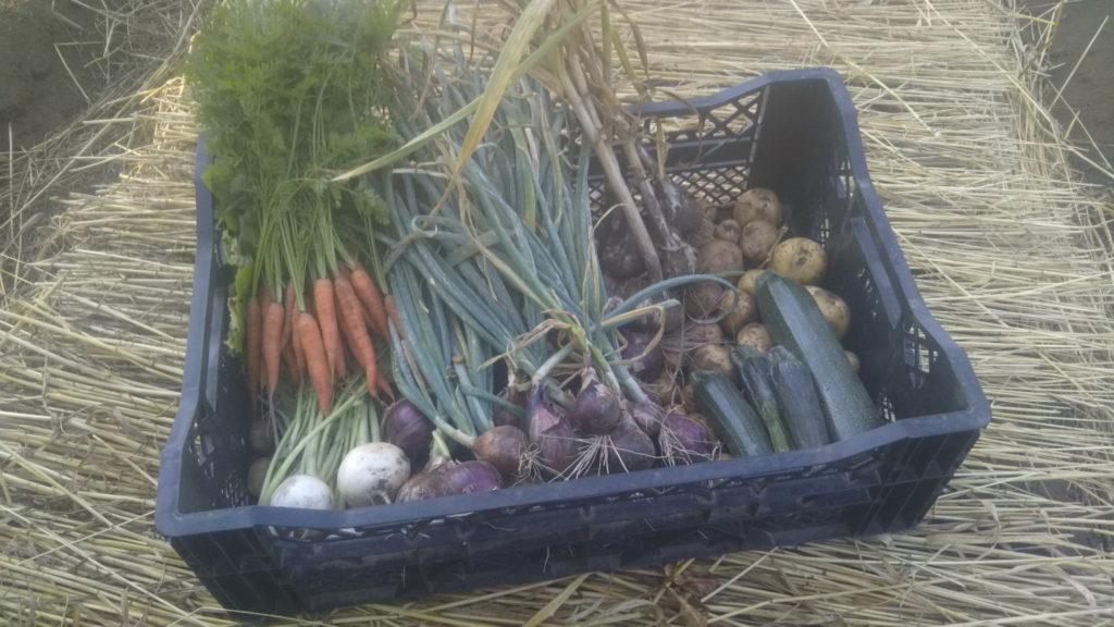初夏の収穫物 ベビーキャロット 松島レッド みやま小かぶ ズッキーニ とうや