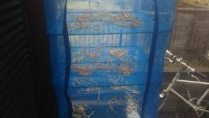 7~10日間乾燥した大蔵大根