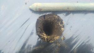 ニンニク定植用の穴