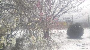 雪の中で可憐に咲く花桃