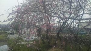 花桃 七分咲き