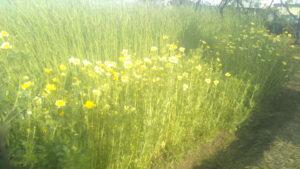 ライ麦 はるみどり & 春菊 花