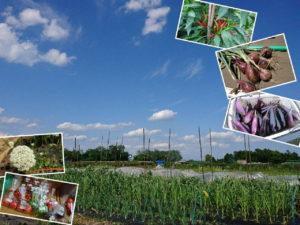 ☆ 831 Farm ☆ 農場 収穫野菜